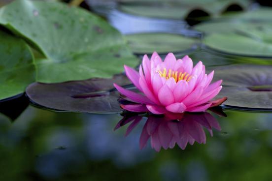 1200-187014300-pink-lotus-flower